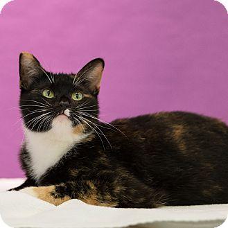 Domestic Shorthair Cat for adoption in Houston, Texas - Eileen