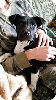 Pit Bull Terrier Mix Dog for adoption in Odessa, Texas - Vinnie