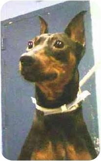 Miniature Pinscher Dog for adoption in Brooklyn, New York - Bernie