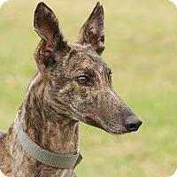 Adopt A Pet :: Doreen - Portland, OR