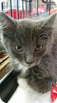 Domestic Longhair Kitten for adoption in Williamston, North Carolina - Whiskers