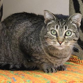 Domestic Shorthair/Domestic Shorthair Mix Cat for adoption in Morgan Hill, California - Pearl