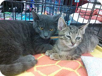 Russian Blue Kitten for adoption in Alamo, California - Hope