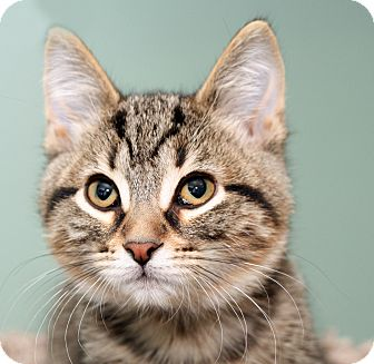Domestic Shorthair Kitten for adoption in Royal Oak, Michigan - WOLF
