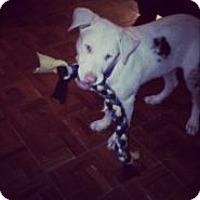 Adopt A Pet :: Lassie - Reno, NV