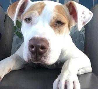 Boxer Mix Dog for adoption in Scottsdale, Arizona - Dottie