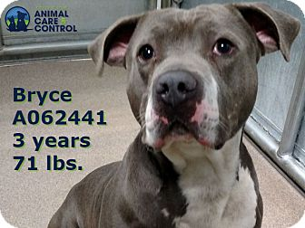 American Staffordshire Terrier Mix Dog for adoption in St. Louis, Missouri - Bryce