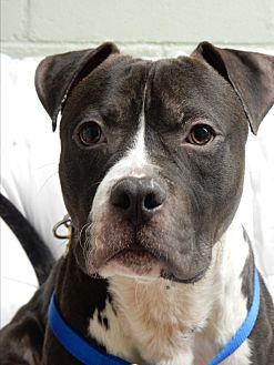 American Bulldog/Boxer Mix Dog for adoption in Long Beach, New York - Ringo Starr
