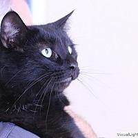 Domestic Shorthair Kitten for adoption in Westchester, California - Summer