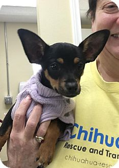 Chihuahua Mix Puppy for adoption in Dallas, Texas - Alexis - Puppy