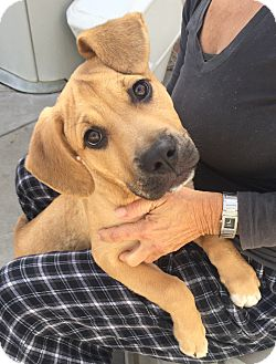 German Shepherd Dog/American Pit Bull Terrier Mix Puppy for adoption in Santa Ana, California - Parker (BH)