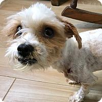 Adopt A Pet :: Beanie - Redondo Beach, CA