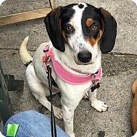 Adopt A Pet :: Foxxy! - New York, NY