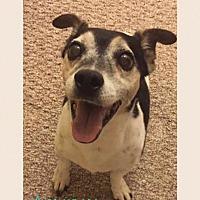 Adopt A Pet :: Stewie - Hawthorne, CA