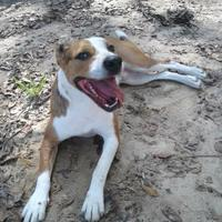 Hound (Unknown Type) Mix Dog for adoption in Spartanburg, South Carolina - Mack