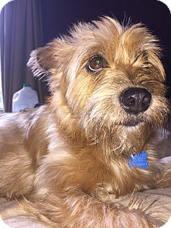 Cairn Terrier Dog for adoption in Westerville, Ohio - Daisy