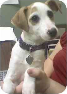 Jack Russell Terrier Mix Puppy for adoption in Wake Forest, North Carolina - Jerry