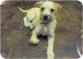 Border Terrier Mix Puppy for adoption in Houston, Texas - Tanner