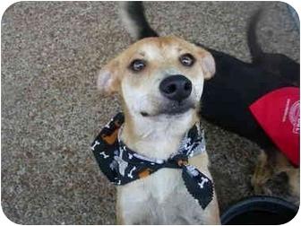 Rat Terrier/Feist Mix Dog for adoption in Boaz, Alabama - Sugar Bear
