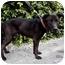 Photo 4 - Labrador Retriever/Shepherd (Unknown Type) Mix Dog for adoption in Los Angeles, California - Puma