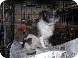 Papillon/Terrier (Unknown Type, Small) Mix Dog for adoption in Lonedell, Missouri - Andy