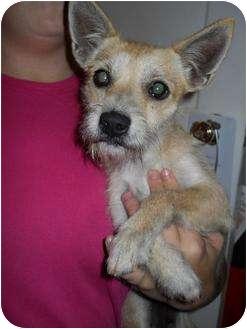 Parson Russell Terrier/Chihuahua Mix Dog for adoption in Carrollton, Georgia - Gemma