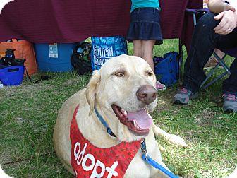 Labrador Retriever Mix Dog for adoption in Evergreen, Colorado - Brinkley