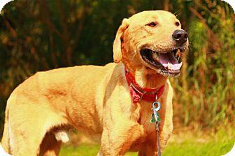 Labrador Retriever Mix Dog for adoption in Marietta, Georgia - Rudy