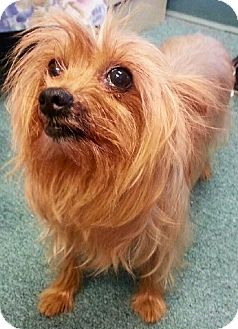 Yorkie, Yorkshire Terrier Dog for adoption in Naples, Florida - Jay