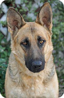 German Shepherd Dog Dog for adoption in Los Angeles, California - Ivory von Insel
