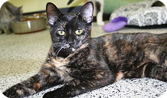 Domestic Shorthair Kitten for adoption in Edmonton, Alberta - Zoey