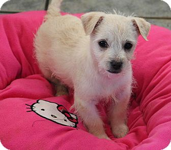 Westie, West Highland White Terrier/Poodle (Miniature) Mix Puppy for adoption in Yuba City, California - Polar Bear
