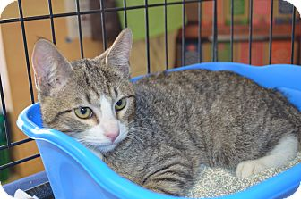 Domestic Shorthair Kitten for adoption in Houston, Texas - Chief