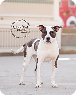 American Pit Bull Terrier/Pit Bull Terrier Mix Dog for adoption in Medina, Ohio - Sweetie