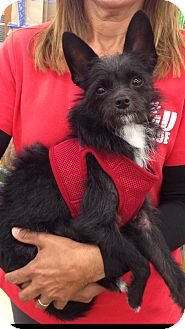 Terrier (Unknown Type, Small) Mix Dog for adoption in Coral Springs, Florida - Benji