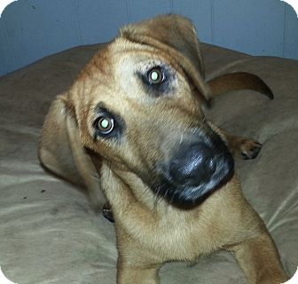 Labrador Retriever/German Shepherd Dog Mix Puppy for adoption in Chicago, Illinois - Harley*ADOPTED!*