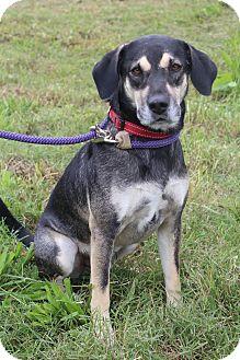 German Shepherd Dog/Labrador Retriever Mix Dog for adoption in Wytheville, Virginia - Bandit
