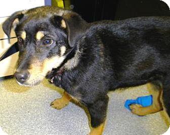 Shepherd (Unknown Type)/Miniature Pinscher Mix Puppy for adoption in Lincolnton, North Carolina - Ziva