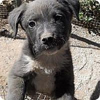 Adopt A Pet :: Tillie - dewey, AZ