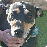 Adopt A Pet :: Baby Girl - white settlment, TX