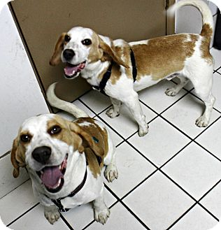Beagle Dog for adoption in Forked River, New Jersey - Jake & Rocky