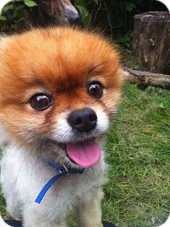 Pomeranian Dog for adoption in Toronto, Ontario - Bear