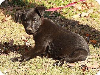 Border Collie/Labrador Retriever Mix Puppy for adoption in Hagerstown, Maryland - Cider