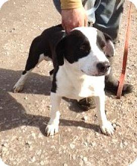 American Bulldog/Labrador Retriever Mix Puppy for adoption in Moulton, Alabama - Barney
