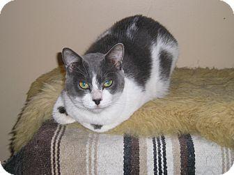 Domestic Shorthair Cat for adoption in Westbury, New York - Avery