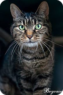 Domestic Shorthair Cat for adoption in Jackson, New Jersey - Beyonce