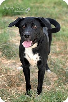 Labrador Retriever Mix Dog for adoption in Pilot Point, Texas - KAY