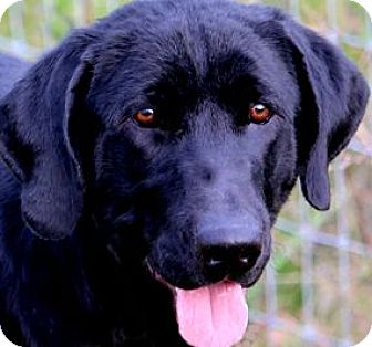 "Labrador Retriever Dog for adoption in Wakefield, Rhode Island - CAPTAIN(THE ""TOTAL"" LAB PUP!!"