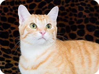 Domestic Shorthair Kitten for adoption in McEwen, Tennessee - Chris