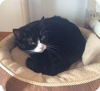 Domestic Shorthair Cat for adoption in Greensburg, Pennsylvania - Tuxanna